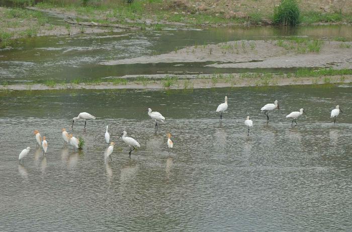 白琵鹭嬉戏觅食